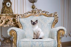 Beautiful rare breed of cat Mekongsky Bobtail female pet cat without tail sits interior of European architecture on retro vintage stock photo