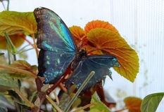 Beautiful rare butterflies Royalty Free Stock Images