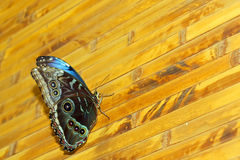 Beautiful rare butterflies Royalty Free Stock Photo