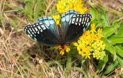 Beautiful, rare, female Diana Fritillary butterfly royalty free stock images