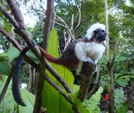 Beautiful and rare monkey Cotton top tamarin. Zoo of Singapore stock photos
