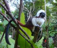 Beautiful and rare monkey Cotton top tamarin. stock photos