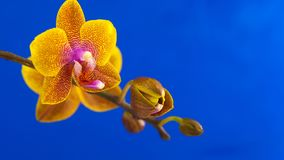 Beautiful rare orchid in pot on blue background stock video footage