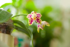 Beautiful rare orchid in pot on blurred background. Beautiful rare orchid in a pot on a blurred background Stock Photos