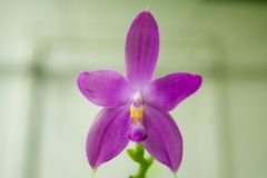 Beautiful rare orchid in pot on blurred background. Beautiful rare orchid in a pot on a blurred background Stock Photo