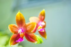 Beautiful rare orchid in pot on blurred background. Beautiful rare orchid in a pot on a blurred background Royalty Free Stock Photography