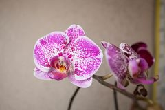 Beautiful rare orchid in pot on blurred background Royalty Free Stock Photography