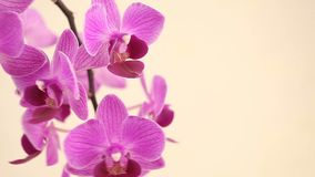 Beautiful rare orchid in pot on white background stock video footage