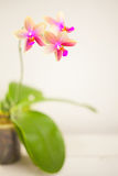 Beautiful rare orchid in pot on white table Royalty Free Stock Images
