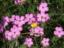 Beautiful rare pink flower in the french alps mountain. stock photography
