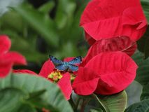 Beautiful and rare Shining-blue Lasaia butterfly perching on a Poinsettia! royalty free stock photos