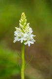 A beautiful rare white wild orchid blossoming in the summer marsh. Stock Photos