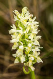 A beautiful rare white wild orchid blossoming in the summer marsh. Stock Photo