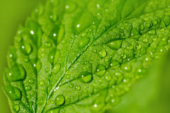 Beautiful raspberry leaves in drops of water Royalty Free Stock Photos