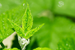 Beautiful raspberry leaves in drops of water Royalty Free Stock Photo