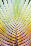 Beautiful Ravenala Pattern Background Stock Photography