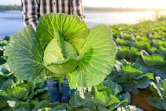 Beautiful raw cabbage where farmers are harvesting cabbage heads in vegetable gardens