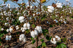 Beautiful Raw Cotton Growing in a Farmer's Field Stock Photos