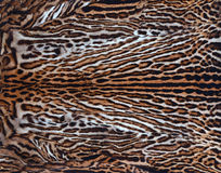 Real leopard skin Royalty Free Stock Image