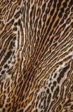 Beautiful real skin of leopard Royalty Free Stock Image
