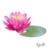 Beautiful realistic illustration of a lily or lotus Royalty Free Stock Image