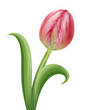 Beautiful realistic pink tulip flower illustration Stock Photo