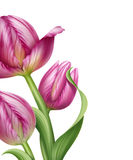 Beautiful realistic pink tulips flower illustration Stock Image