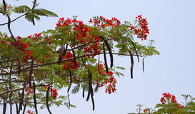 Beautiful red acacia branches. India Goa. Stock Images