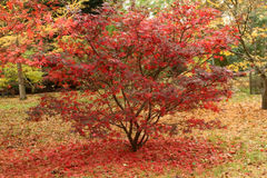 Beautiful Red Acer Tree. Surrounded by bright red leaves royalty free stock photo