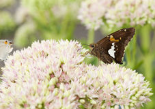 Beautiful Red Admiral Butterfly on Sedum Bl. Beautiful Red Admiral Butterfly on Sedum Flower Blooms royalty free stock image