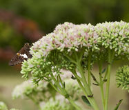 Beautiful Red Admiral Butterfly on Sedum Bl. Beautiful Red Admiral Butterfly on Sedum Flower Blooms royalty free stock photos