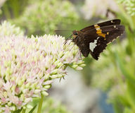 Beautiful Red Admiral Butterfly on Sedum Bl Stock Photo