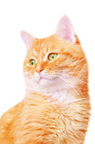 Beautiful red adult cat Stock Images