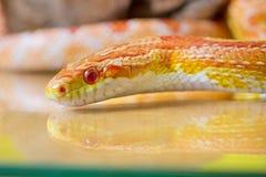 Beautiful red albino corn snake reptile on yellow green blurred Stock Photo