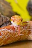 Beautiful red albino corn snake reptile on yellow green blurred Royalty Free Stock Image