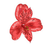 Beautiful red alstroemeria flower isolated on white background Stock Photos