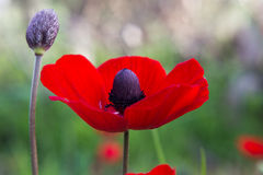 Beautiful red anemone on the field Royalty Free Stock Images