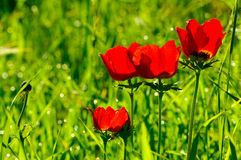 Beautiful red anemone flower stock photography