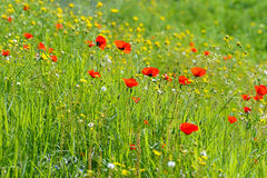 Beautiful red anemone flower on a spring field Stock Image