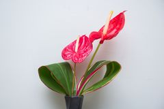 Beautiful red anthuriums in a black vase Royalty Free Stock Images