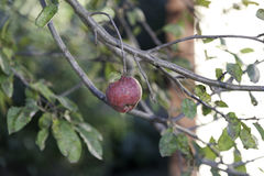 Beautiful red apple on the branch lead Royalty Free Stock Photos
