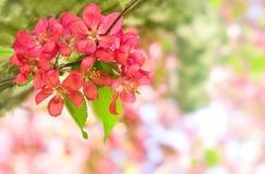 Beautiful red apple flowers Stock Photo
