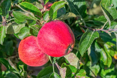 Beautiful red apples Royalty Free Stock Images