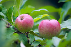 Beautiful red apples on a tree. royalty free stock photos