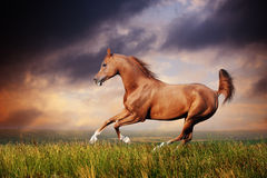 Beautiful red arabian horse running gallop. On the field on sunset Stock Images
