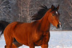 Beautiful red arabian horse on a snow field. Beautiful red arabian horse on a russian's snow-covered field in sunset light Stock Photography