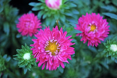 Beautiful red asters Royalty Free Stock Photo