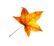 Beautiful red autumn leaf on the white background Royalty Free Stock Images