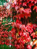 Fall Leaves Growing on Tin Shed stock image