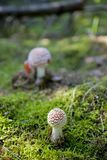 Red autumn toadstool growing in a green European forest Stock Image